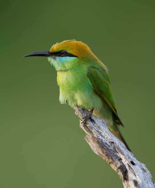 Bee eater 3