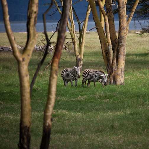 Cub, Lake Nakuru NP