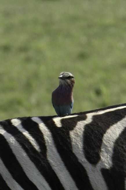 Zebra perch