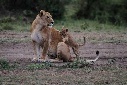 Drinking lion