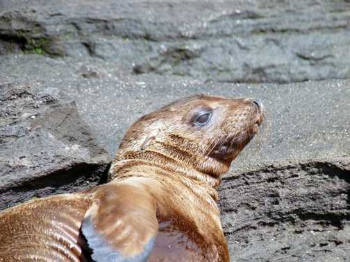 Yet another sealion pup! So cute.