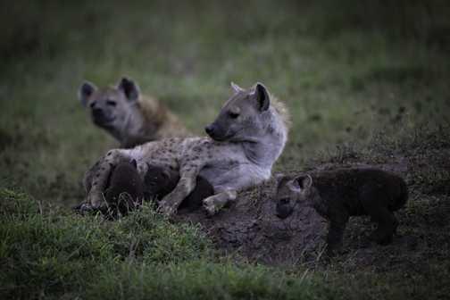 Hyena three cubs