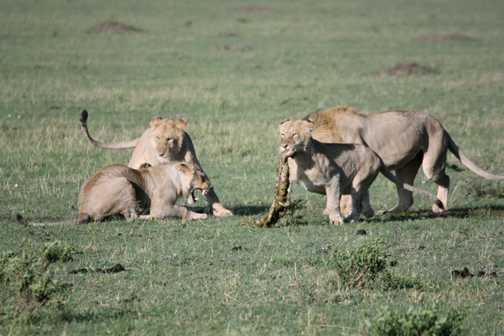 Lion pride fighting over kill - Masai Mara
