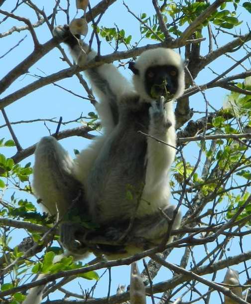 Ring tailed lemur in sanctuary