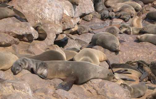 Seals at Cape Cross Seal Colony
