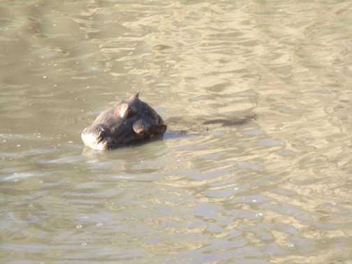 more hippo
