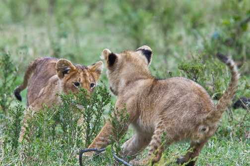Lion Cubs Playtime