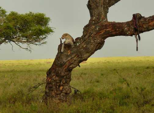Lazy Leopard with kill