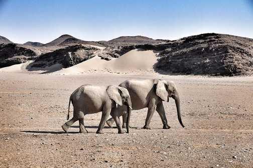 Desert Elephants Namib Desert