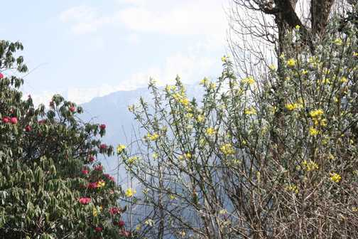 Rhododendron Forests