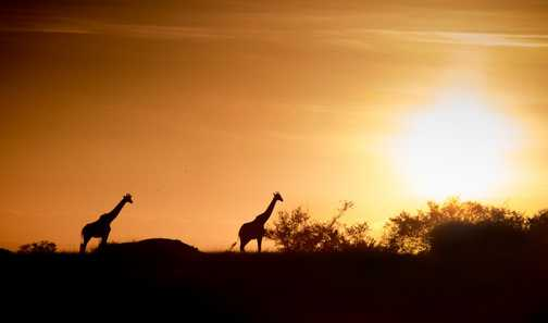 Giraffes at Sunset in Masai Mara