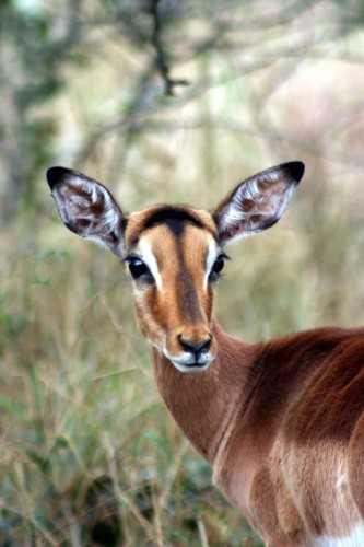 Okavango Delta - Impala