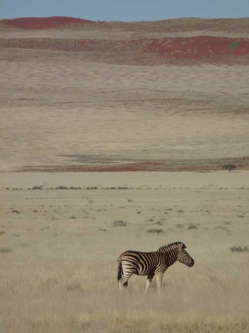 Zebra in his element, Namibia