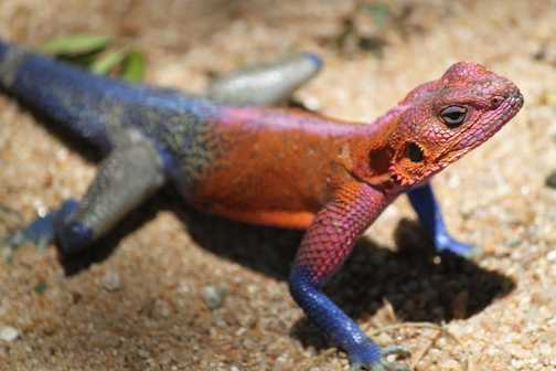 another male agama lizard
