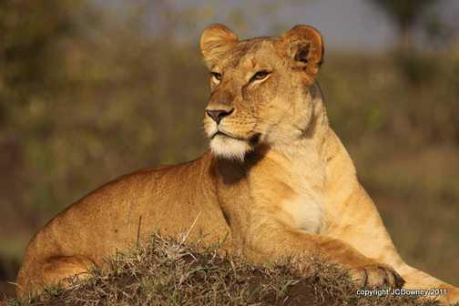 River pride lioness