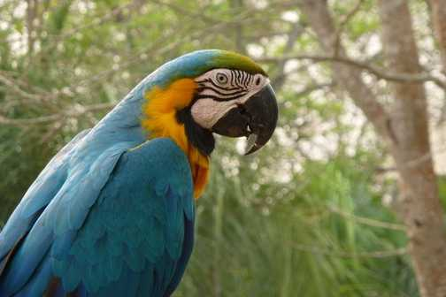 Macaw - Bonito