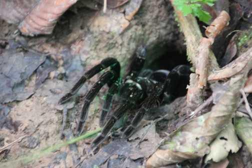 a very big spider