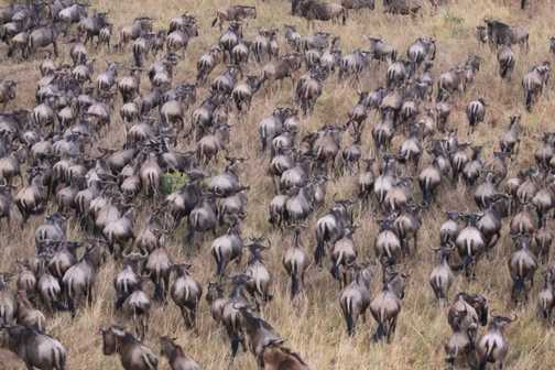 masses of wildebeasts after the migration to Kenya