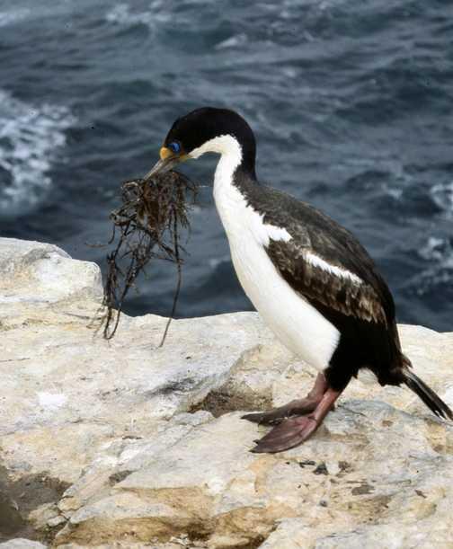 Snipe on Sea Lion Island