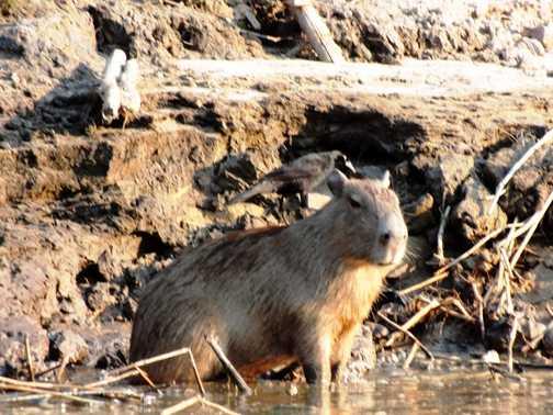 Capybara - Tambopata River