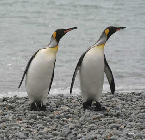 King penguins looking left in unison
