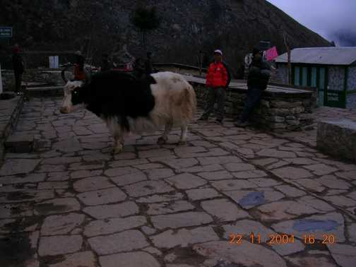 A friendly yak ourside our lodge.