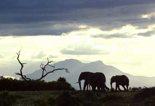 Elis at Sunset Amboseli