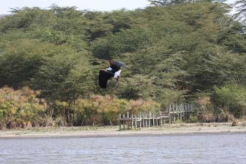 Fish Eagle d