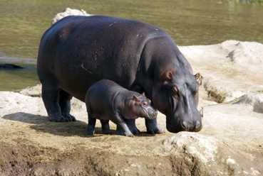 Hippo and baby.