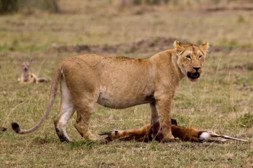 Lioness kill, with a jackal in the background
