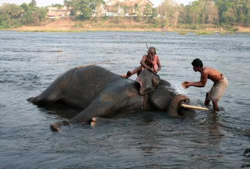 Washing elephants at Kodanadu, Kerala