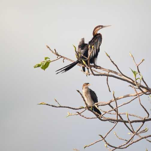 Malachite kingfisher (Jinja)
