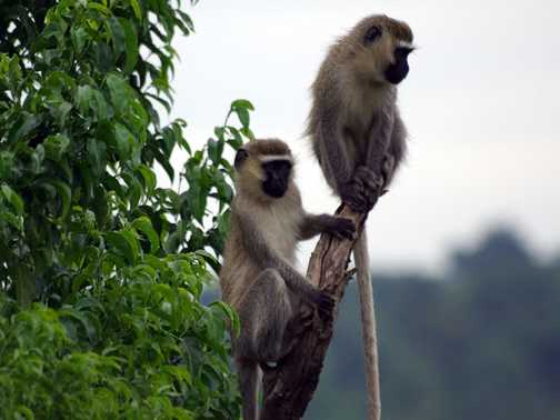 Vervet monkeys, Jinja, Uganda