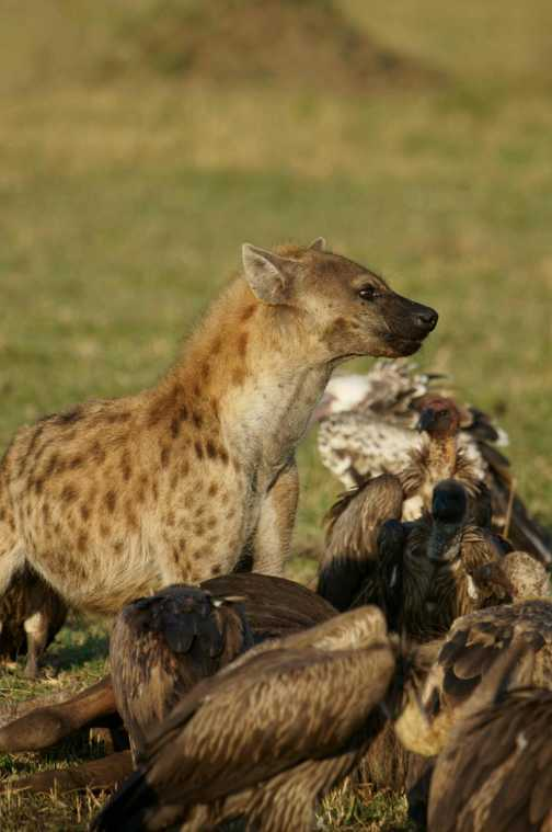 Lone hyena has eaten its fill, now its the turn of the vultures. Typical scene in the Masai Mara