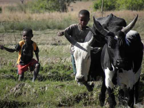 Zebu herding