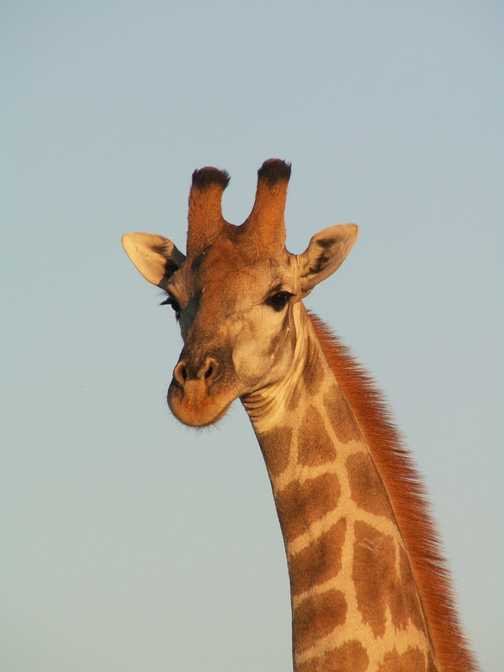 Giraffe - Etosha