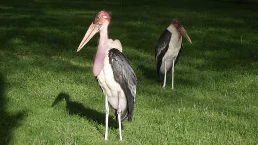 Lake Nakuru Pelicans