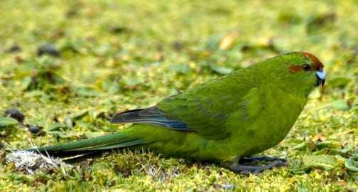 Auckland Isle : Parakeet