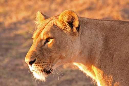 Dawn Lioness