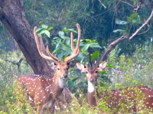 Chittal (Spotted deer)