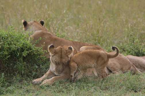 Snuggling lions