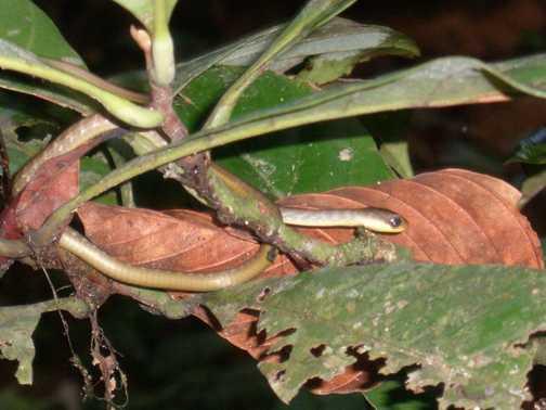 baby snakes in amazonia