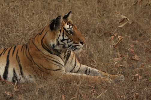 Bengal Tiger - her best side as she had lost her other eye