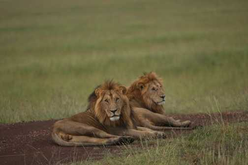 Lion Kings block the road