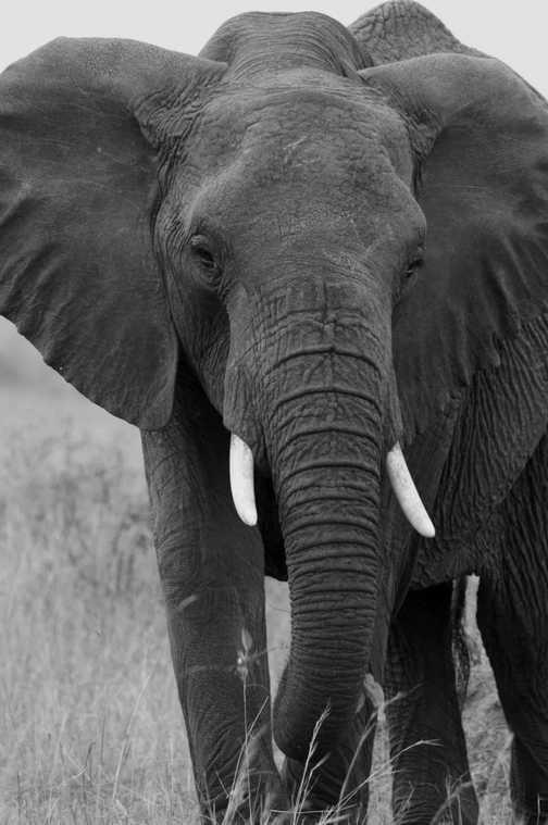 Close encounter with bull elephant in the Masai Mara