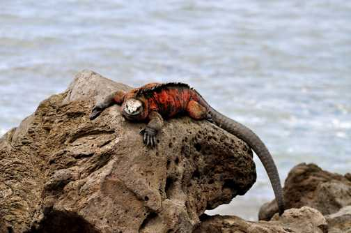 Marine Iguana - hanging around