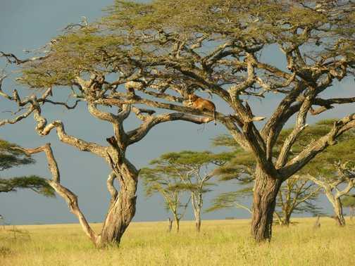 Tree Lion 1