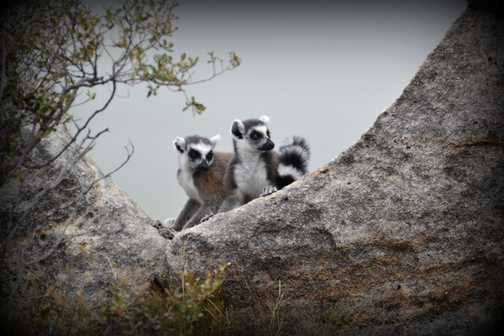 Playful Lemurs