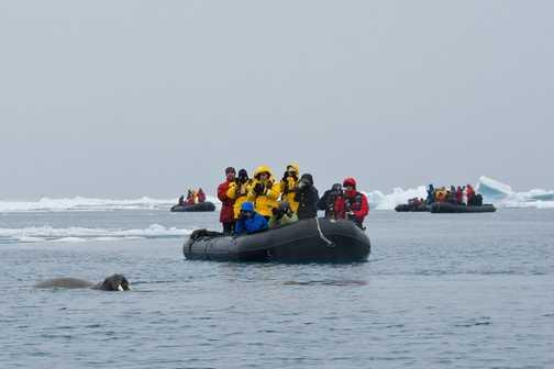 Zodiac Cruising Among the Walrus