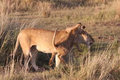 Lioness and playful cub